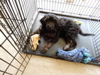 Goldendoodle Puppy For Sale in MECHANICSBURG, PA,