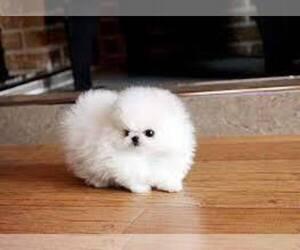 Pomeranian Puppy for sale in Halifax, Nova Scotia, Canada