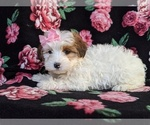 Small #2 Poodle (Miniature)-Shorkie Tzu Mix