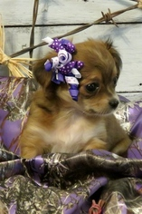 Chihuahua Puppy For Sale in LICKING, MO