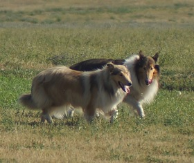 Mother of the Collie puppies born on 02/08/2019