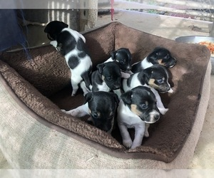 Jack Russell Terrier Puppy for sale in PASO ROBLES, CA, USA