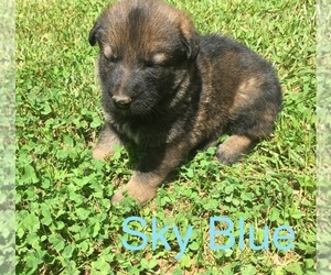 German Shepherd Dog Puppy for sale in DEMOREST, GA, USA