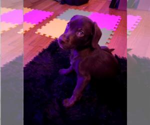 Labrador Retriever Puppy for sale in BROOKLYN, NY, USA