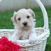 Cavachon Puppy For Sale in GAP, PA, USA