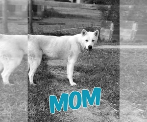 Mother of the Akita puppies born on 12/29/2019