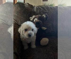 Bichpoo Puppy for Sale in ETNA GREEN, Indiana USA