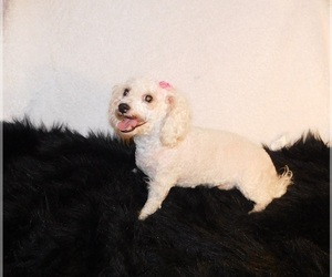 Bichon Frise Dog for Adoption in WARRENSBURG, Missouri USA