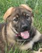 German Shepherd Dog Puppy For Sale in WINTERSET, IA, USA