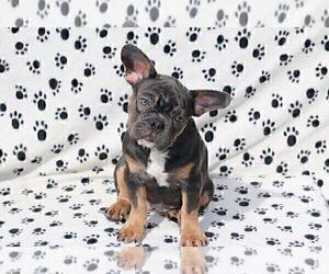 French Bulldog Puppy for sale in BARRINGTON, CA, USA