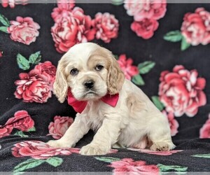 Cocker Spaniel Puppy for sale in BIRD IN HAND, PA, USA