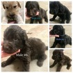 Labradoodle Puppy For Sale in OKEENE, Oklahoma,