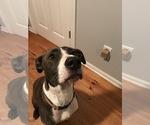 Small #3 American Staffordshire Terrier-Labrador Retriever Mix