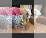 Small Photo #3 Maltipoo Puppy For Sale in EMIT, NC, USA