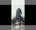 Small #1 Labrador Retriever-Majestic Tree Hound Mix