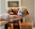 Puppy 5 Australian Labradoodle-Labradoodle Mix