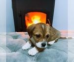 Puppy 3 Jack Russell Terrier-Shih Tzu Mix