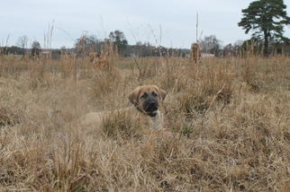 Anatolian Shepherd Puppy For Sale in SEARCY, AR, USA