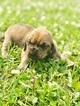 Puppy 3 Bloodhound