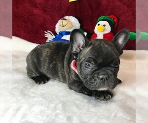 French Bulldog Puppy for sale in TALALA, OK, USA