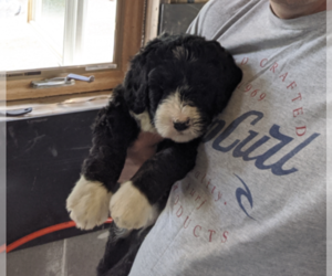Bernedoodle Puppy for sale in PALATINE, IL, USA