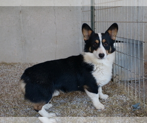 Father of the Pembroke Welsh Corgi puppies born on 01/13/2021