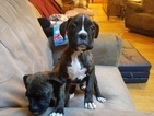 Boxer Puppy For Sale in TACOMA, WA,