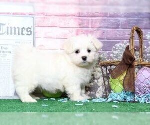 Maltese Puppy for sale in BEL AIR, MD, USA