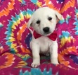 Anatolian Shepherd-Great Pyrenees Mix Puppy For Sale in QUARRYVILLE, PA, USA