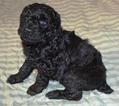 AKC Standard Poodle Puppies Beautiful and Sweet