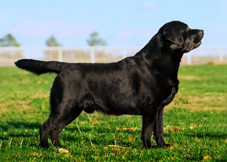 Labrador Retriever Puppy For Sale in WHITEWRIGHT, TX, USA