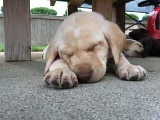 Labrador Retriever Puppy For Sale in CUMMING, GA