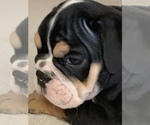 Puppy 3 Bulldog