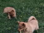 Finnish Spitz Puppy For Sale in IONIA, MI, USA