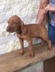 Vizsla Female Puppy