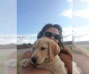 Labrador Retriever Puppy for sale in WILLIAMSBURG, CO, USA