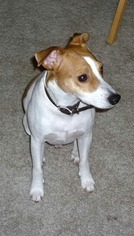 Jack Russell Terrier Dog For Adoption in LOVES PARK, IL, USA