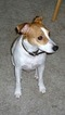Jack Russell Terrier Dog For Adoption in LOVES PARK, IL