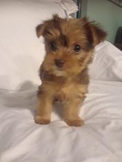 Yorkshire Terrier Puppy For Sale in SAINT PETERSBURG, FL, USA