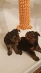 Yorkshire Terrier Puppy For Sale in BRENTWOOD, MD, USA