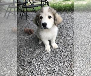Great Pyrenees Puppy for Sale in SEBASTOPOL, California USA