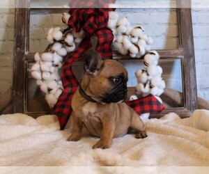 French Bulldog Puppy for Sale in AUSTIN, Colorado USA