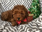 Poodle (Toy) Puppy For Sale in CEDAR LANE, Pennsylvania,