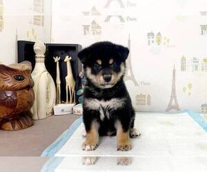 Shiba Inu Puppy for sale in PORTLAND, OR, USA