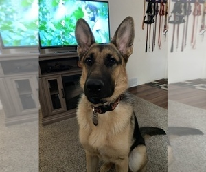 German Shepherd Dog Puppy for sale in CO SPGS, CO, USA