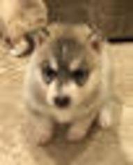 Siberian Husky Puppy For Sale in RIVERSIDE, CA