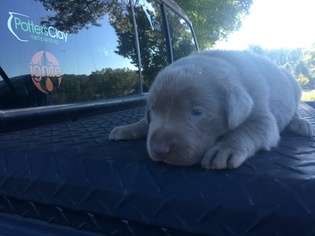 Labrador Retriever Puppy For Sale in EASLEY, SC, USA