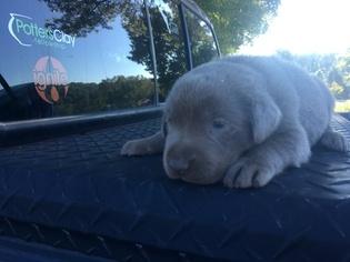 Labrador Retriever Puppy For Sale in EASLEY, SC