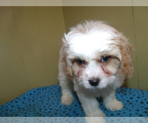 Cavachon Puppy for sale in PATERSON, NJ, USA
