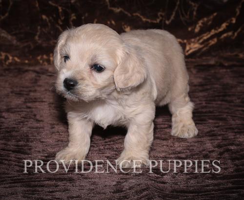 View Ad: Cavapoo Puppy for Sale near Iowa, WAYLAND, USA ...